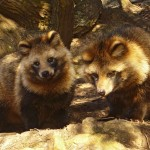 Chinese Raccoon Dogs